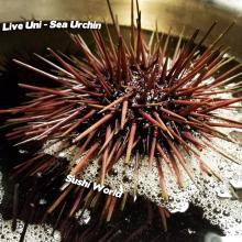 Live Uni Sea Urchin Santa Barbara Sushi Sashimi Like Butter Yummy Orange County Sushi World